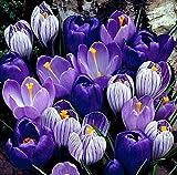 Blue Moon Mix Crocus 20 Bulbs - Blues and Purples - 8/9cm Bulbs
