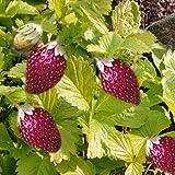 "Golden Alexandria Strawberry - 4 Plants - Fragaria - 2.5"" Pots"
