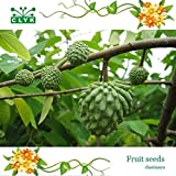 Tropics fruit Seeds Cherimoya, nutrition fruit tree seeds - 10 particles