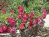 New Life Nursery & Garden / - / - Red Drift Groundcover Rose, Full Gallon Pot