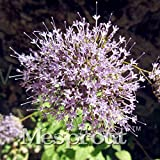 50 seeds Throatwort Trachelium Caeruleum Nectar plants seeds MIX #32694076371ST