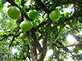 8 Seeds of Crescentia Cujete - Calabash Tree