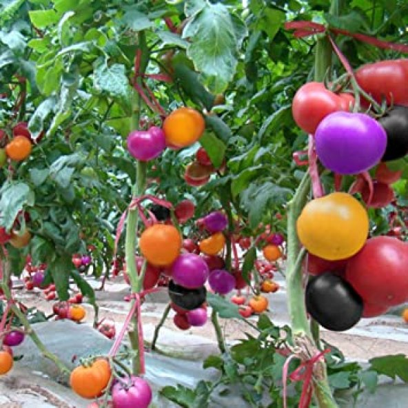 Image result for rainbow tomatoes