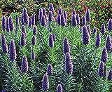 Pride of Madeira 100 Seeds - Echium fastuosum -Perennial by Seeds and Farms