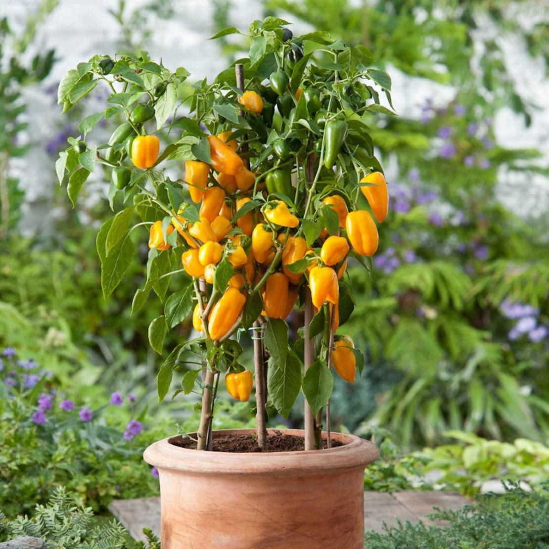 How to plant pepper in container - Sweet Yellow Bell Pepper