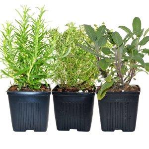 Thyme Sage & Rosemary Plants Set of 3 Organic Non GMO Stargazer Perennials