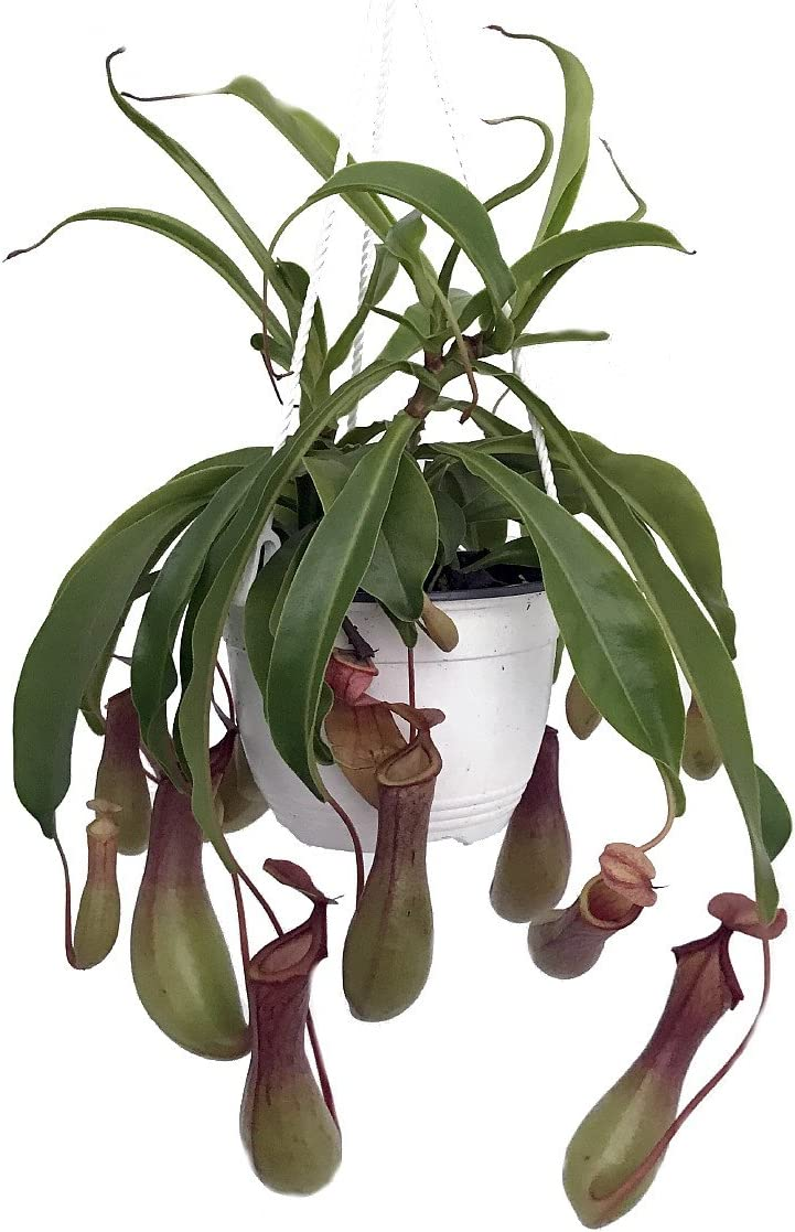 Pitcher Plant to Hang Indoors