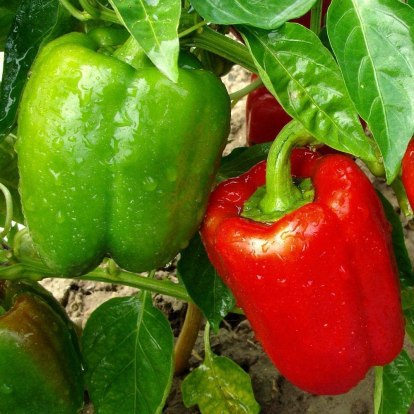 How to grow Bell Pepper in Container - Jupiter bell Pepper