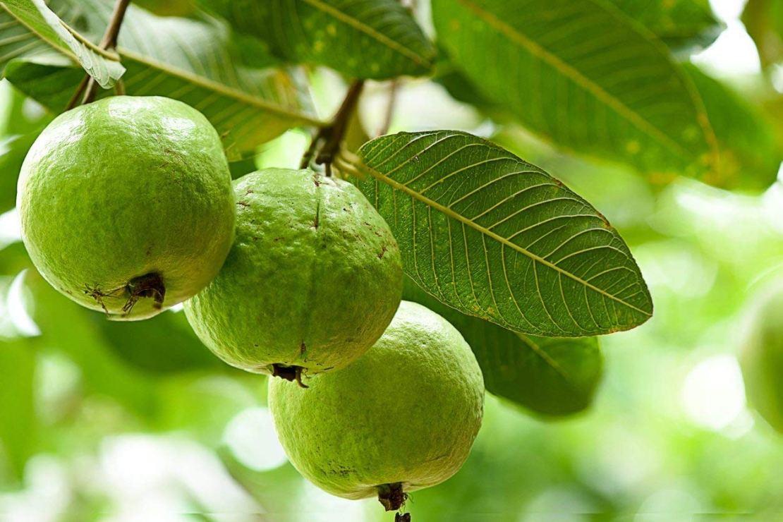 Guava Summer Fruits