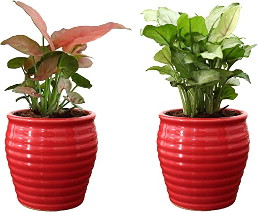 Rolling Nature Combo of Good Luck Air Purifying Live Pink Syngonium and Green Syngonium Plant in Red Ceramic Pot
