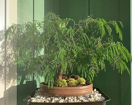 Amazon.com : 1 oz Seeds (Approx 506 Seeds) of Leucaena leucocephala, White  Leadtree, White Popinac, Jumbay, Leadtree : Garden & Outdoor