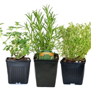 Thyme, Oregano & Rosemary Plants Set of 3 Organic Non GMO Stargazer Perennials