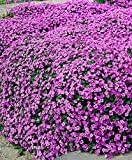Pink ROCK SOAPWORT Saponaria Ocymoides Flower Seeds, Great Groundcover(1000)
