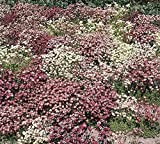 """Saxifraga Mossy Seeds """"Species Mix"""" Pink/rose,white,purple Evergreen Groundcover"""