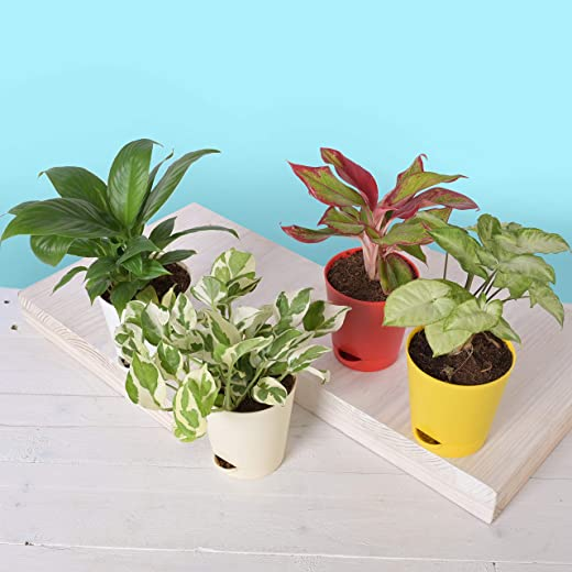 Ugaoo Indoor Plants for Home with Pot - Money Plant N Joy, Syngonium Mini, Aglaonema Red, Peace Lily