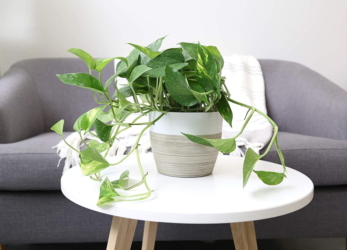 Golden Pothos plant to hang indoors