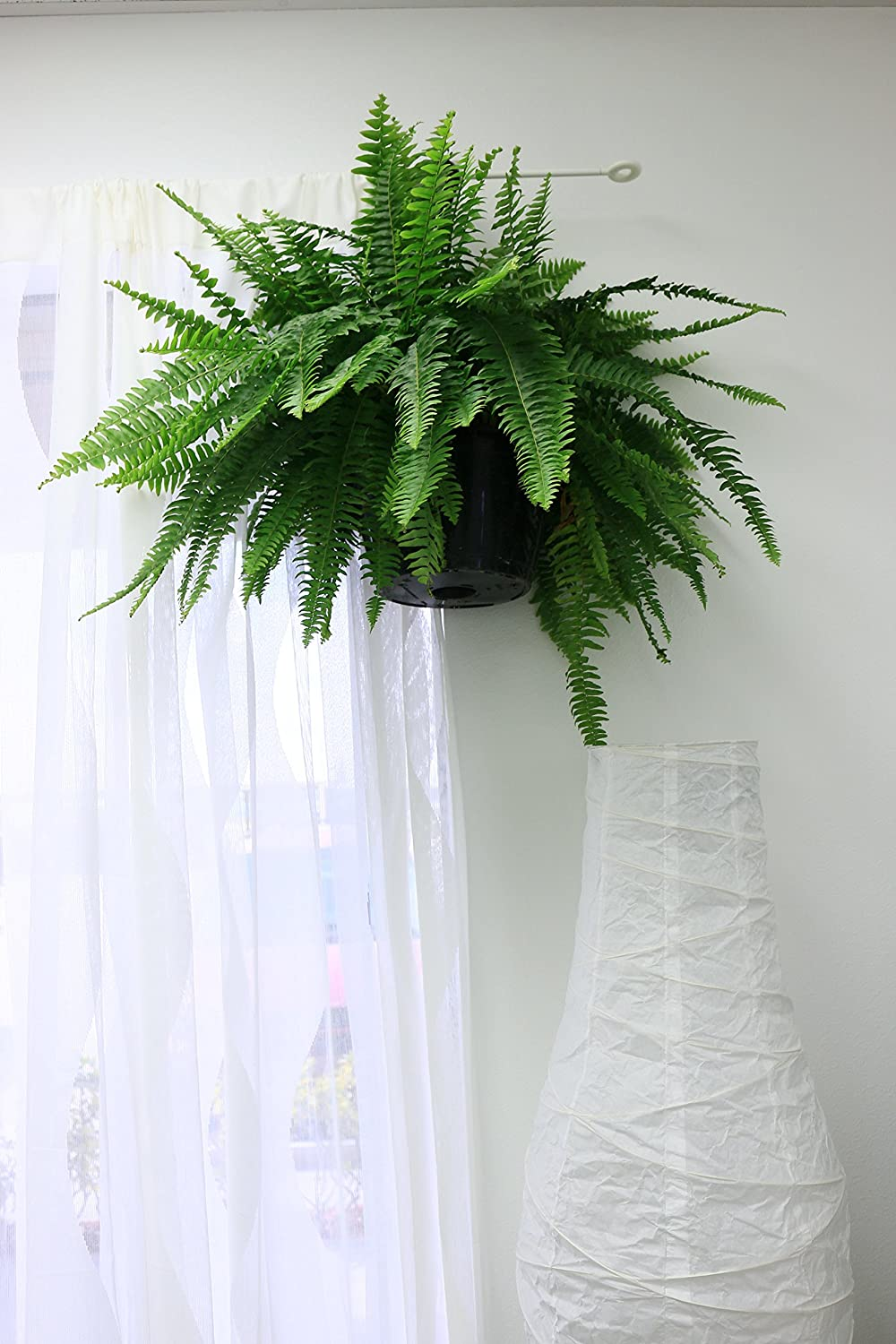 The Boston Fern  to hang indoors