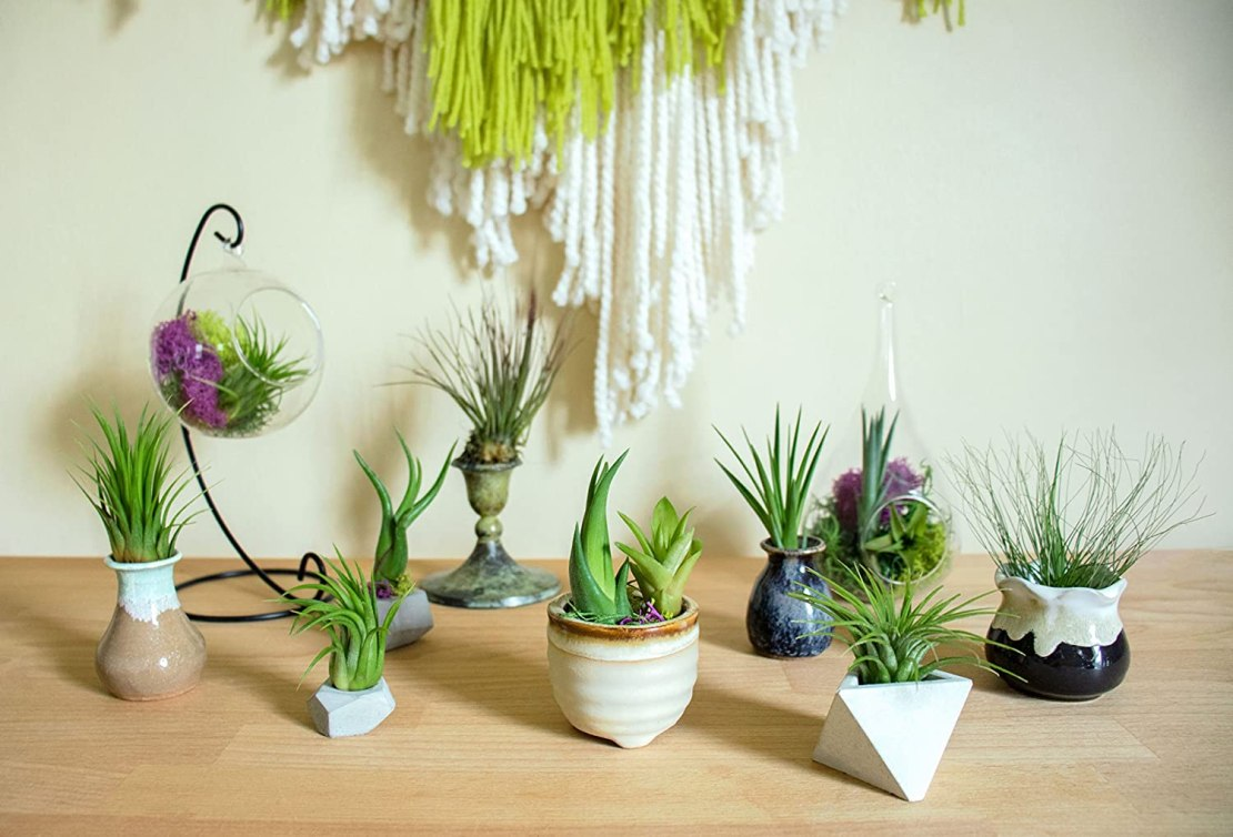 Air plants to hang indoors