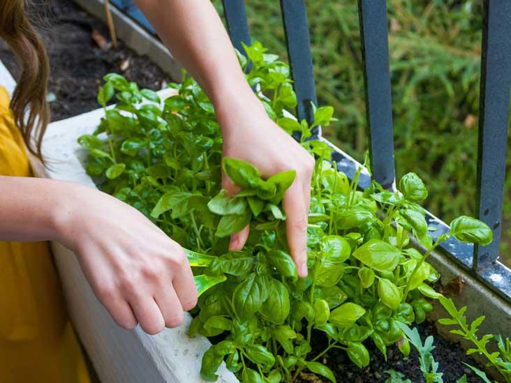 12 Benefits and Uses of Basil Seeds (Sabja Seeds, Tukmaria)