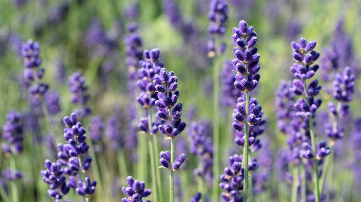 Edible Flowers Lavender