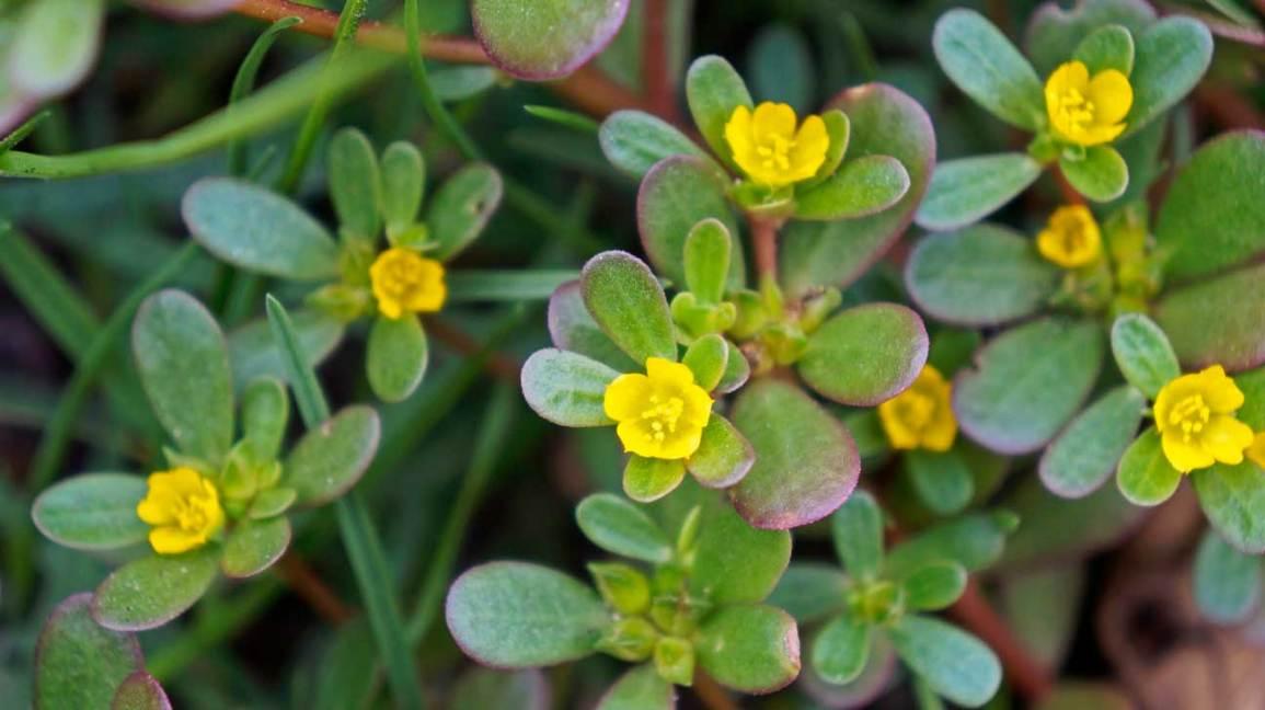 Edible Flowers Purslane