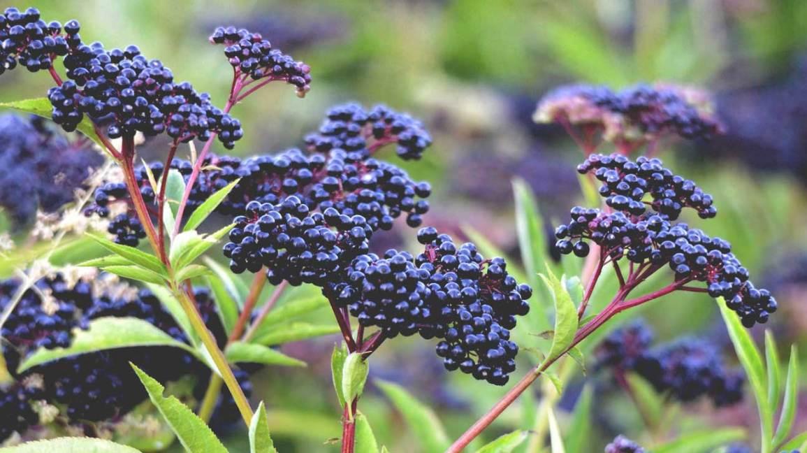 Images Of Elderberry Plant