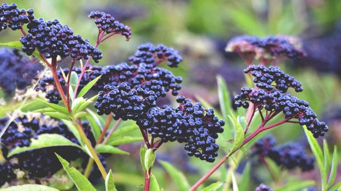 Elderberry Plant and Berries