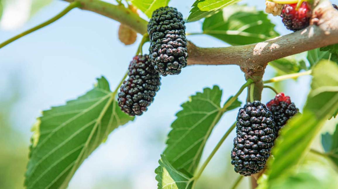Mulberries 101 Nutrition Facts And Health Benefits