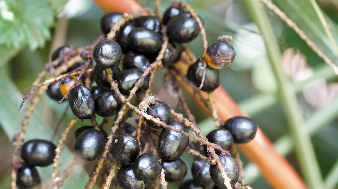 prostata serenoa repens e aloe vera tree