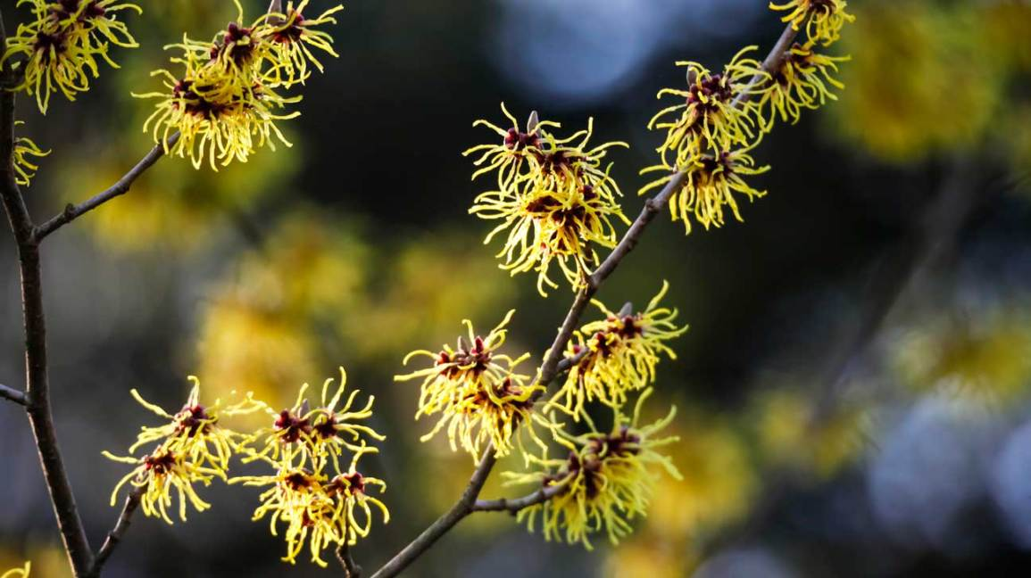 8 Benefits And Uses Of Witch Hazel