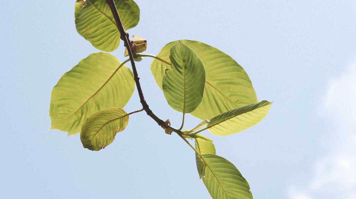 dea backs down on kratom