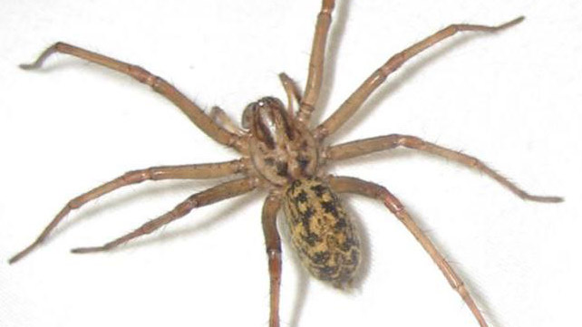 Hobo Spider Bite: Pictures, Symptoms, and Treatments
