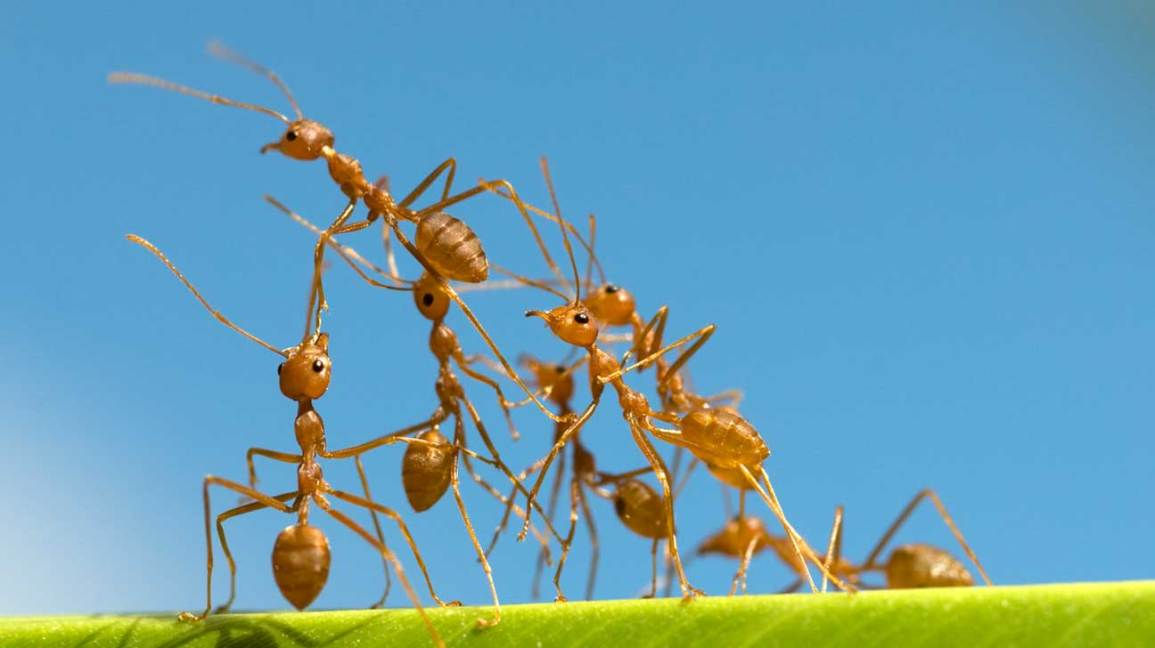 Fire Ants: Symptoms and Treatments