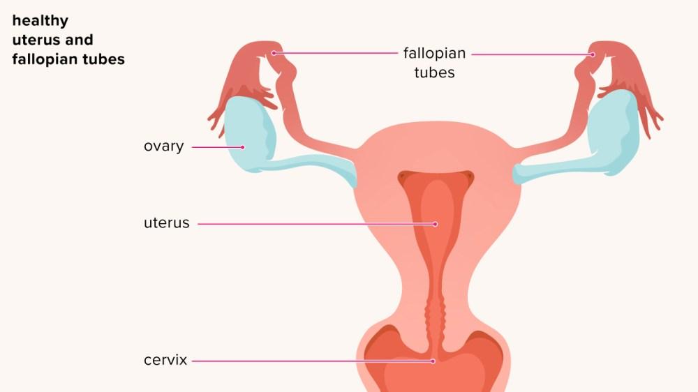 medium resolution of dog uteru diagram