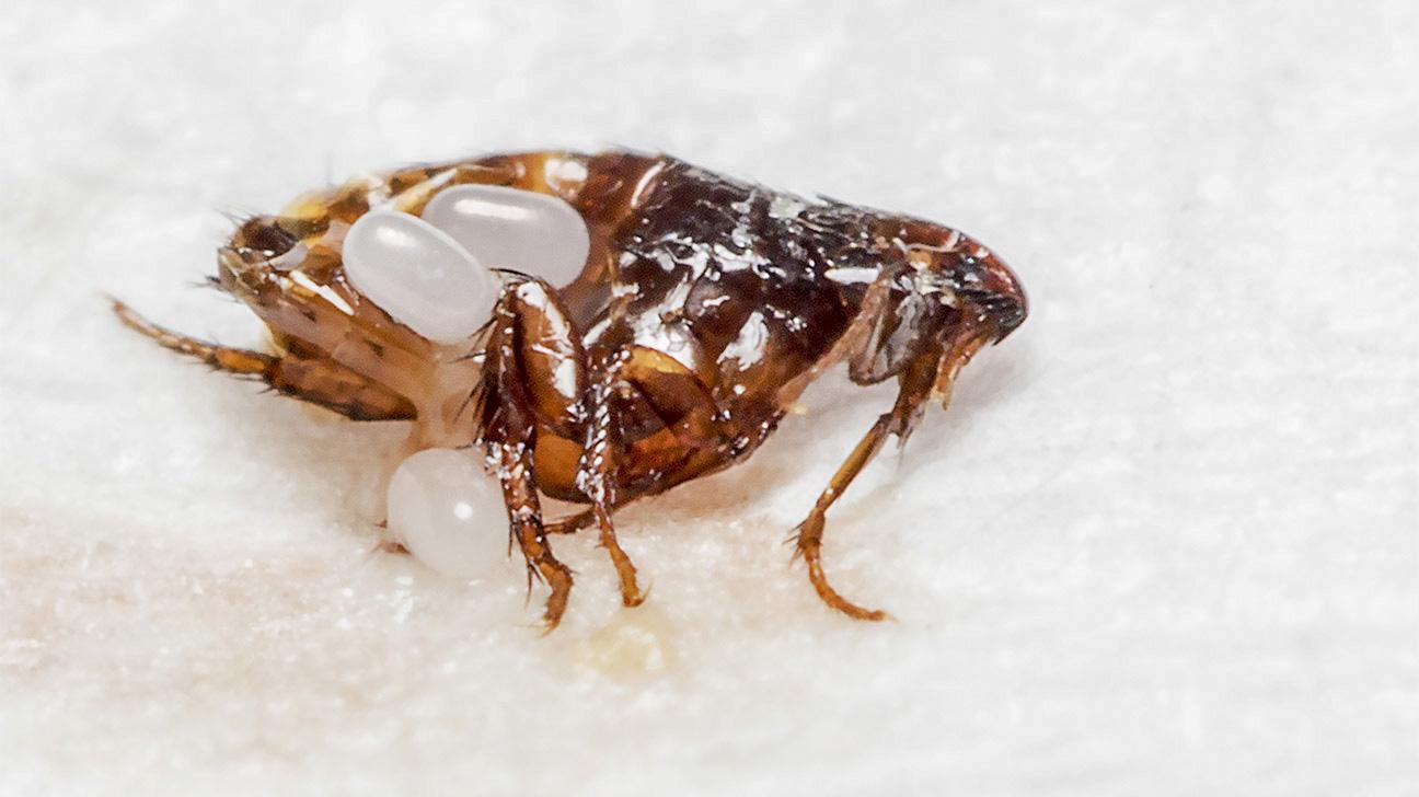 remedio para picaduras de pulgas en personas