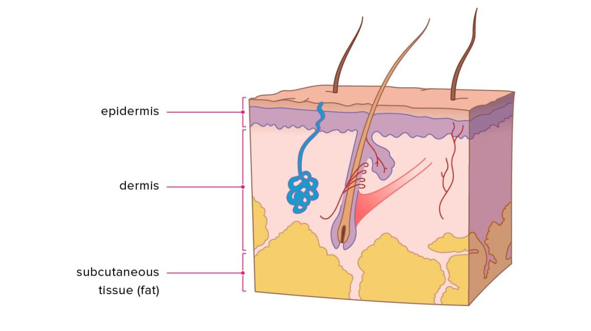 Layers of Skin: How Many, Diagram, Model, Anatomy, In OrderHealthline