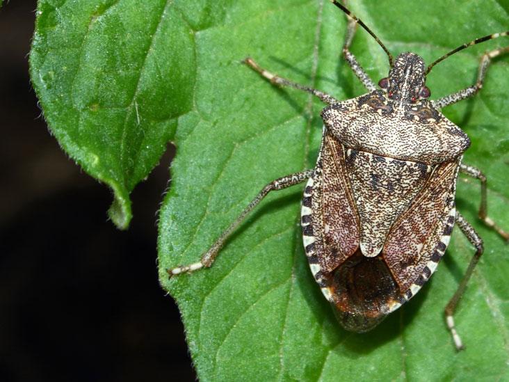 Do Stink Bugs Bite?