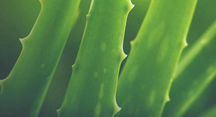 Can You Eat Aloe Vera