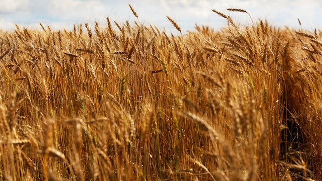 Wheat Germ: How Can It Benefit Your Health?