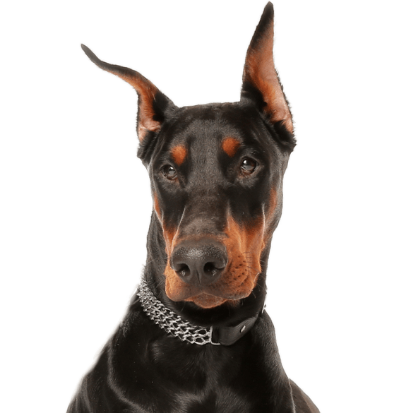 doberman pinscher puppies for