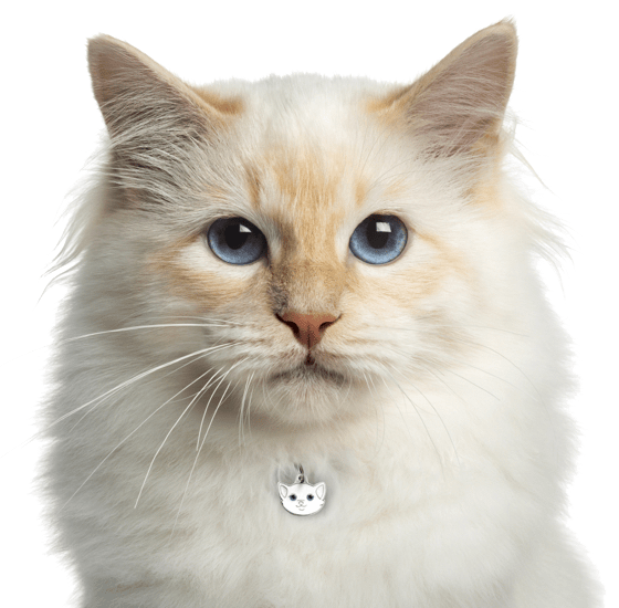 Birman Kittens For Sale In Texas