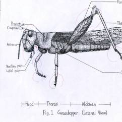 Grasshopper Insect Diagram Electrolux Dishwasher Wiring Entomology Point By Gogosanford On Deviantart