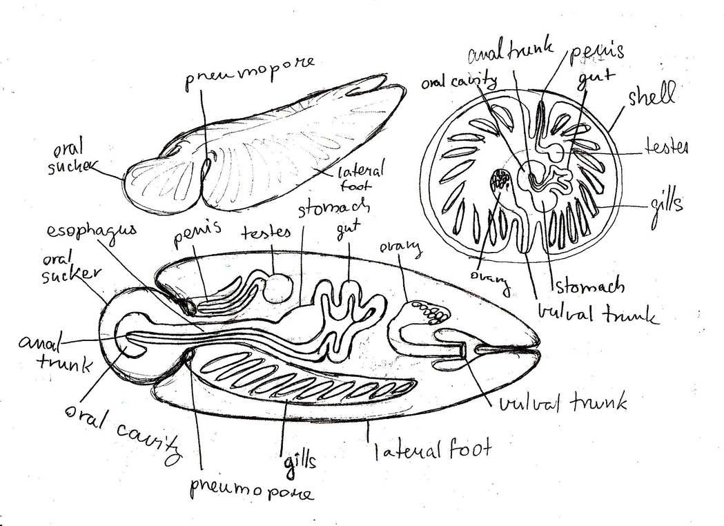 slug anatomy diagram 1984 chevy truck alternator wiring molluscoid slugs and limpets by peteridish on