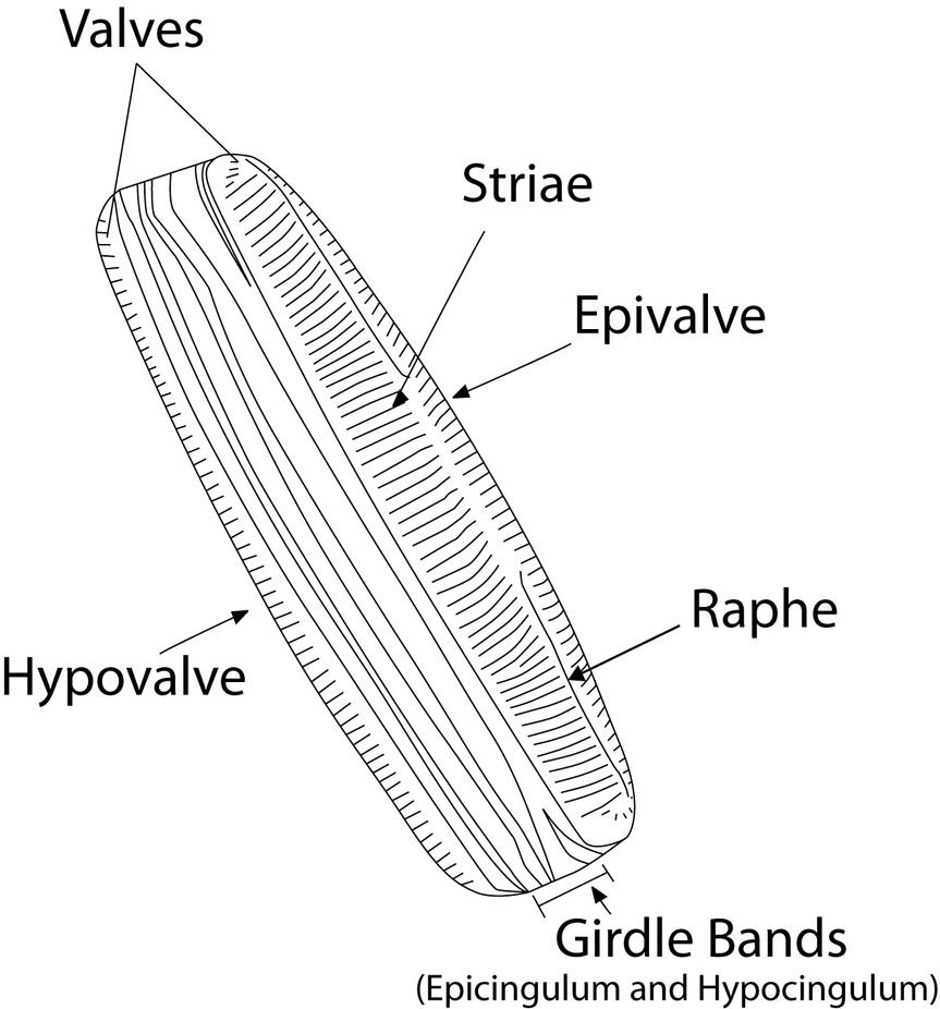 medium resolution of diatom diagram by skipperthepilot on deviantart