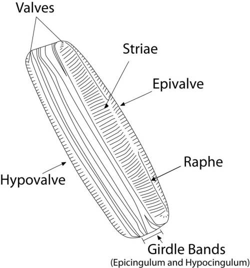 small resolution of diatom diagram by skipperthepilot on deviantart