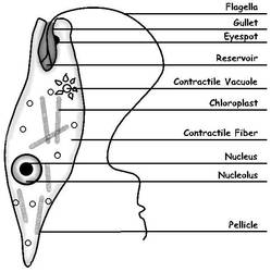 euglena cell diagram with labels wiring for 12 volt winch solenoid labeled line drawing by sciencedoodles on deviantart