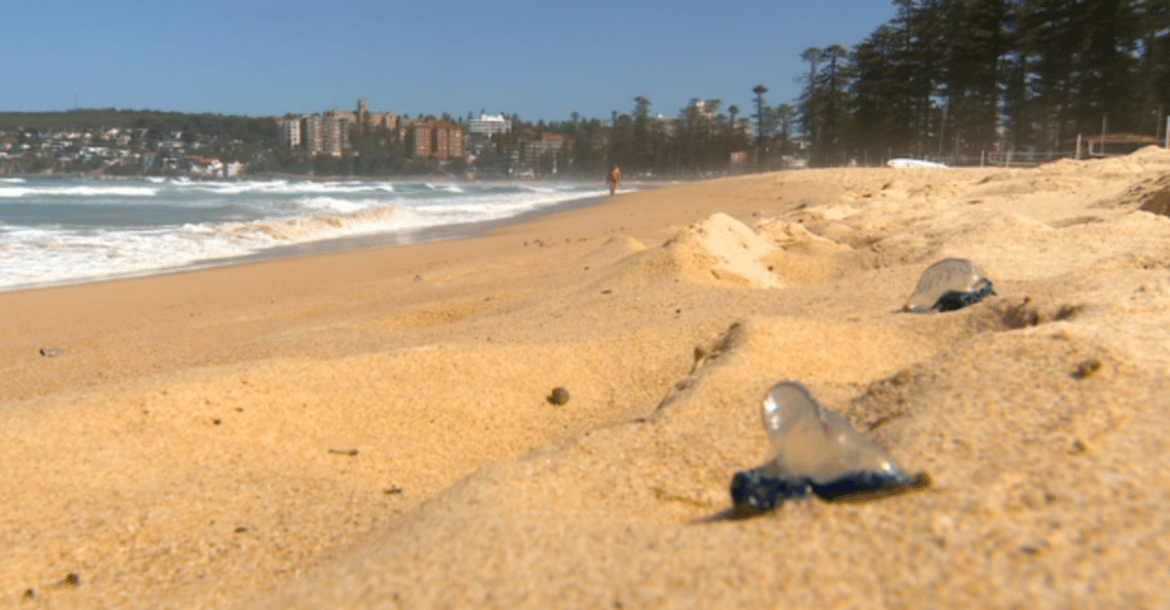 The stingers at Manly Beach.