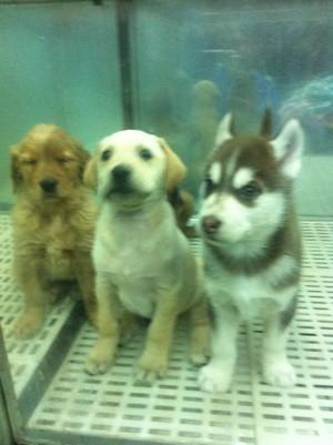 其他動物 - 無力照顧小狗狗。平讓給愛犬人士。$880元起。例如。刀柏文。紅貴富。白松鼠。白北京。芝娃娃 ...