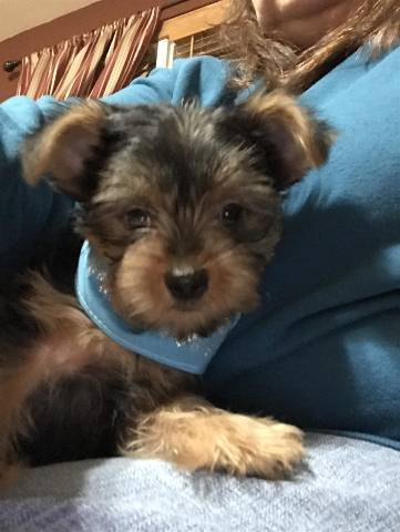 Teacup Puppies For Sale Missouri : teacup, puppies, missouri, Female, Yorkie, Puppies, Sale., Kansas, City,, Animal,