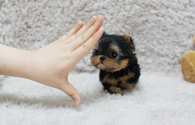 Cute Wallpapers Of Dogs And Puppies Cute Teacup Yorkie Puppies For You Phoenix Animal Pet